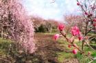 しだれ桜と梅