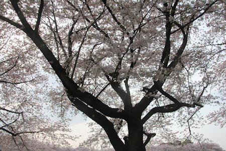 見沼の桜回廊